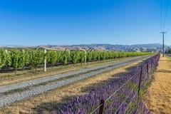 Lijnen van druiven en lavendel bij zonsondergang Royalty-vrije Stock Foto's