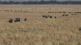 Lijnen van het meest wildebeest op de jaarlijkse migratie in masai mara, Kenia stock footage