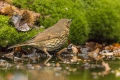Lijster, Turdidae Een zangvogel royalty-vrije stock afbeeldingen