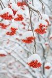 Lijsterbes in de sneeuw Stock Afbeelding