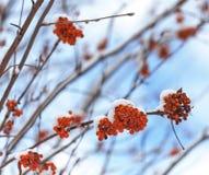 Lijsterbes in de sneeuw Royalty-vrije Stock Afbeelding