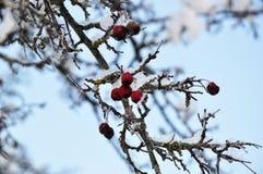 Lijsterbes in de sneeuw Royalty-vrije Stock Fotografie