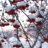 Lijsterbes in de sneeuw Stock Foto