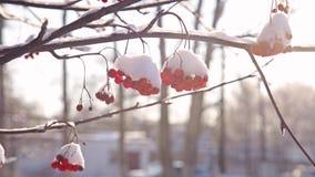 Lijsterbes in de stralen van de winterzon stock videobeelden