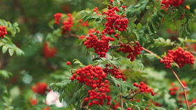 Lijsterbes in de wind De warme herfst Rode Bessen stock footage