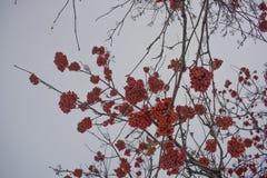 Lijsterbes in de winter in een stadspark stock foto's