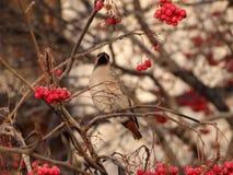 Lijsterbes en vogel Stock Afbeelding