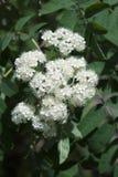 Lijsterbes het bloeien De lente bloeiende boom Royalty-vrije Stock Foto