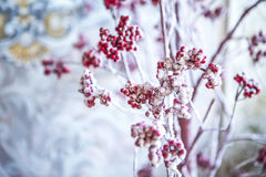 Lijsterbes met rode bessen in de sneeuw Stock Fotografie