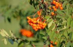 Lijsterbes of Rowan Berry Plant Royalty-vrije Stock Foto's