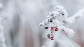 Lijsterbessen met rijp en sneeuw worden behandeld die stock videobeelden