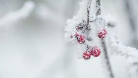 Lijsterbessen met rijp en sneeuw worden behandeld die stock video