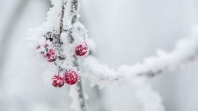 Lijsterbessen met rijp en sneeuw worden behandeld die stock footage