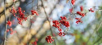 Lijsterbessenbessen in de herfstbos Stock Afbeeldingen