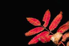 Lijsterbessenbladeren in de herfst op een donkere achtergrond Royalty-vrije Stock Afbeeldingen