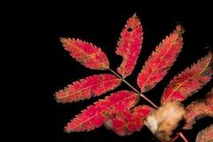 Lijsterbessenbladeren in de herfst op een donkere achtergrond Stock Afbeelding