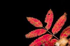 Lijsterbessenbladeren in de herfst op een donkere achtergrond Stock Fotografie