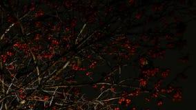 Lijsterbessenrood met vliegende bladeren tegen de achtergrond van de nachthemel stock footage