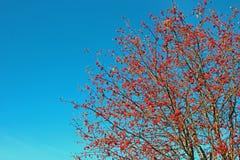 Lijsterbessentakken met heldere rode bessen Stock Foto's