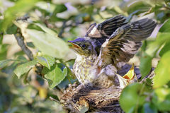 Lijsterkuikens die in het nest zitten Royalty-vrije Stock Afbeelding