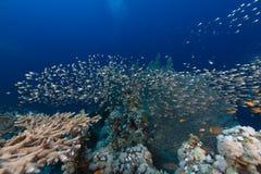 Lijstkoraal en het aquatische leven in het Rode Overzees royalty-vrije stock foto