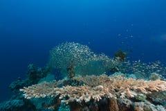 Lijstkoraal en het aquatische leven in het Rode Overzees stock foto's