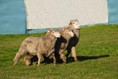 Lika höger sida för fårbegrepp Arkivbilder