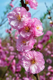 The likable peach blossom Stock Photography
