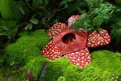 Likblomman gjordes av att gripa in i varandra den plast- tegelstenleksaken Det vetenskapliga namnet är den Rafflesia kerriien, de Arkivfoton