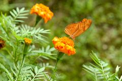 Orange Butterfly. Like all the different colored butterflies, an orange butterfly has several different symbolic meanings. An orange butterfly represents passion stock image
