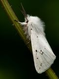 Like a bride. White Ermine. Beautiful moth, like a bride stock image