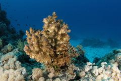Like a Christmas tree - Red Sea. This underwater picture was taken on the St John's reef off Egypt in the Red Sea Stock Photography