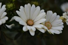 Like a Daisy Royalty Free Stock Photo