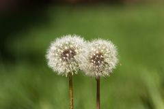 A pair of dandelions on a green field. royalty free stock photography