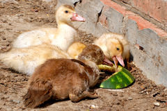 About like a duck eating watermelon Stock Image