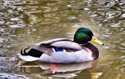 Like a duck to water... A duck on a local lake Stock Photos