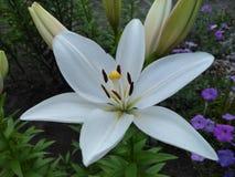 White Bride Lily stock photo