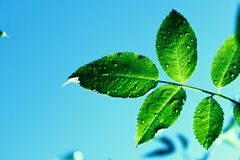 Like a mint. Watered leaf in strong sunlight Stock Photos
