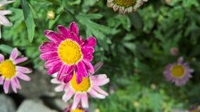 A bright, purple pink chrysanthemum Royalty Free Stock Photography