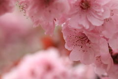 Like peach blossom royalty free stock photos