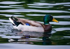 Like a posing duck on waves of a water surface with a brilliant green neck and a dark blue feather of the wing. For your design Stock Image