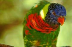 Like a rainbow. Multicoloured parrot Stock Photo