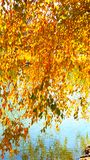 Like strings of gold coins dangling above water. Beautiful weeping willow in fall Stock Image