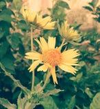 Like sunflower Stock Images