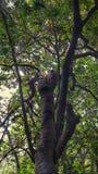 Like tarzan tree Royalty Free Stock Image
