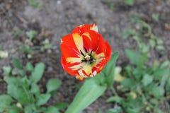 Liken blommar tulpan Arkivfoton
