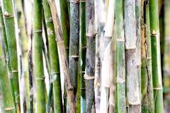 liknar snabbt gräs för bambu som växer många, stemstingtreen som mycket används Royaltyfria Bilder