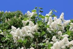 Lilás bonito branco, iluminado pelo sol brilhante da mola fotos de stock royalty free