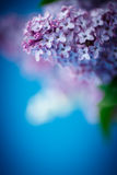 Lilás bonito da mola Fotografia de Stock Royalty Free