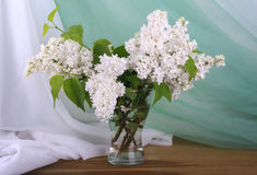 Lilás branco Fotografia de Stock Royalty Free